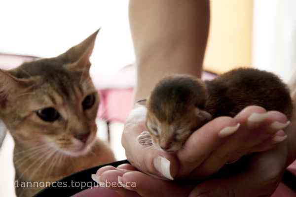 Superbes chatons Abyssins pour reservation