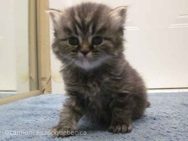 chaton male persan brown taby.