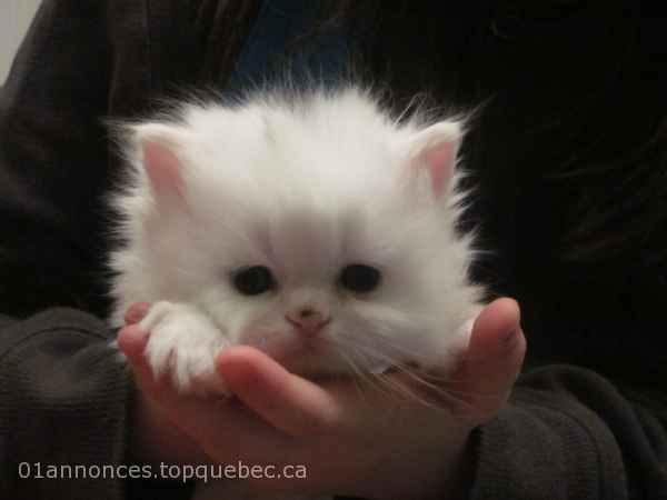 Chaton persan blanc yeux cuivres.