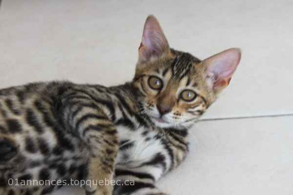 femelle Bengal Brown black tabby spotted